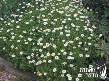 חרצית - Chrysanthemum